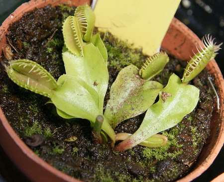 insectivorous: Dionaea muscipula, Venus fly trap, insectivorous plant of marshy areas with upper part of leaf modified into trapping device, snapping close when insect comes in contact