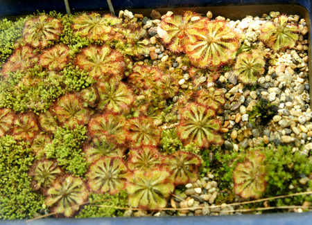 glandular: Drosera montana, small insectivorous plant with basal rosette of spathulate leaves with red glandular hairs for trapping insects, and small pink flowers