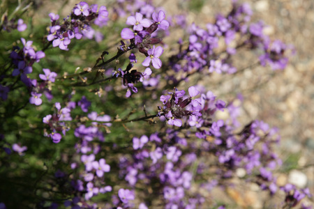 Erysimum linifolia, shrubby perennial with narrow linear leaves and mauve purple flowers in long corymbose racemes