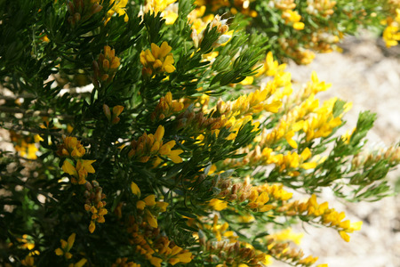 leaflets: Flax leaf broom, Genista linifolia, erect shrub, leaves with 3 linear leaflets, flowers yellow in clusters Stock Photo