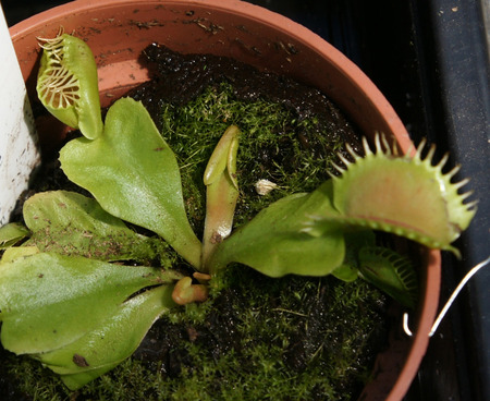 insectivorous plants: Dionaea muscipula, Venus fly trap, insectivorous plant of marshy areas with upper part of leaf modified into trapping device, snapping close when insect comes in contact