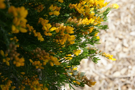 clusters: Flax leaf broom, Genista linifolia, erect shrub, leaves with 3 linear leaflets, flowers yellow in clusters Stock Photo
