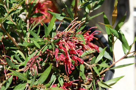 pendent: Grevillea Ruby clusters, evergreen shrub with up to 7 cm long narrow leaves and ruby red pendent flowers in clusters