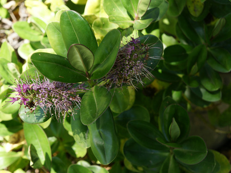 showy: New Zealand hebe, showy hebe, Hebe speciosa, evergreen shrub with dark green shining leaves and pink to purple flowers in spikes