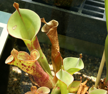 marsh plant: Heliamphora tatei,  George Henry Hamilton Tate, marsh pitcher plant endemic to Venezuela, known for stem-forming growth habit
