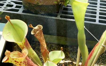 henry: Heliamphora tatei,  George Henry Hamilton Tate, marsh pitcher plant endemic to Venezuela, known for stem-forming growth habit
