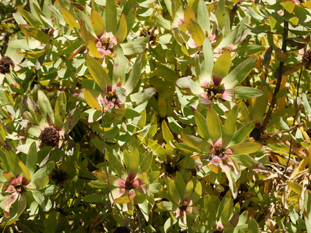 elliptic: Leucadendron tinctum, Spicy conebush, scented bush with elliptic green leaves and coloured bracts surrounding terminal flowerhead, male yellow, female maroon Stock Photo