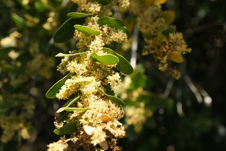 causing: Lithraea caustica, a tree from Anarcadiaceae endemic to Chile containing Urushiol causing allergic reactions and rashes to humans