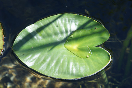 waters: Nuphar polysepala, yellow pond lily, found in shallow waters, with floating leaves and yellow flower Stock Photo