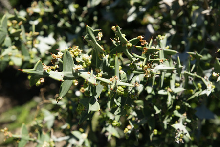 flattened: Anchor plant, Colletia paradoxa, Jet Plane plant, leafless plant with green flattened stem with branches appearing like opposite boat anchors and airplane propellors
