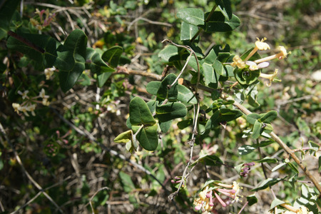 bracts: Lonicera implexa, Mediterranean honeysuckle, woody climber with floral bracts united at base and sessile inflorescence and yellow flowers with long tubes