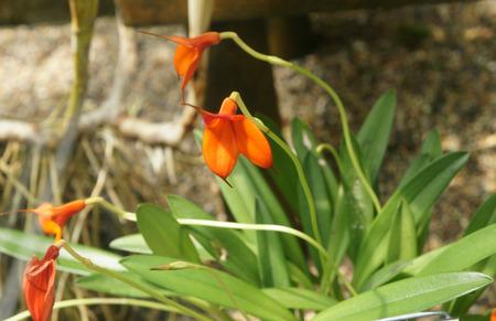 narrowly: Masdevallia welischii, a lithophytic epiphyte from Peru with narrowly elliptic leaves with tubular sheaths and orange purple flowers with appendages