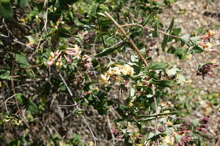 inflorescence: Lonicera implexa, Mediterranean honeysuckle, woody climber with floral bracts united at base and sessile inflorescence and yellow flowers with long tubes