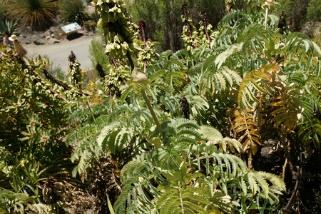 laden: Melianthus major, Giant honey flower, shrub endemic to South Africa with large green pinnate leaves and dark red honey laden slower spikes and green pods Stock Photo