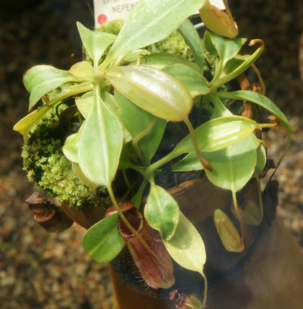 adapted: Nepenthes ephippiata, Saddle-leaves pitcher plant, insectivorus plant endemic to Borneo with pitcher like leaves adapted for catching insects Stock Photo