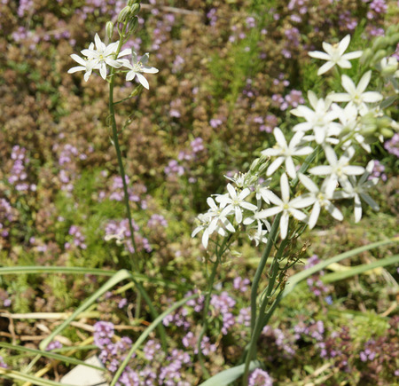 ornithogalum: Pyramidal Star of Bethlehem, Ornithogalum pyramidale, perennial ornamental herb with basal rosette of strap shaped leaves and white star shaped leaves on long inflorescence Stock Photo
