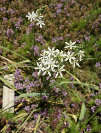 pyramidal: Pyramidal Star of Bethlehem, Ornithogalum pyramidale, perennial ornamental herb with basal rosette of strap shaped leaves and white star shaped leaves on long inflorescence Stock Photo