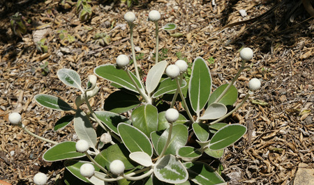 beneath: Marlborough Rock Daisy, Pachystegia insignis, compact low growing shrub with thick leathery leaves densely tomentose beneath and white flower heads on long stalks.