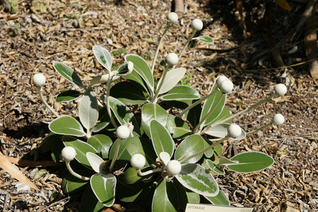leathery: Marlborough Rock Daisy, Pachystegia insignis, compact low growing shrub with thick leathery leaves densely tomentose beneath and white flower heads on long stalks.