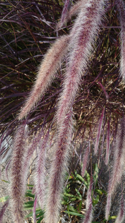 arching: Pennisetum setaceum Rubrum, tender perennial fountain grass with arching linear red leaves and leaves and long red spikes
