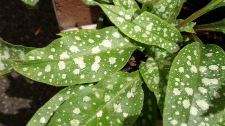 pulmonaria: Pulmonaria Trevi Fountain, foliage plant with large green lanceolate leaves with silvery gray to nearly white patches and and drooping cobalt blue flowers