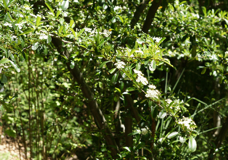 narrowly: Pyracantha fortuneana, evergreen shrub with narrowly oblanceolate crenate leaves and white flowers in dense clusters Stock Photo