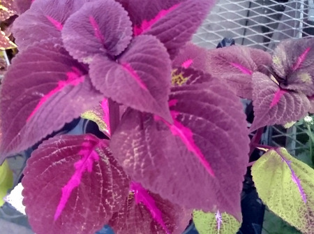 Perilla frutescens Balmagpurp, annual ornamental herb with opposite maroon colored toothed leaves with magenta central line