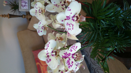 spotted flower: Phalaenopsis white purple spotted, beautiful orchid with white flowers having purple spots and pink lip, carried on long stalk