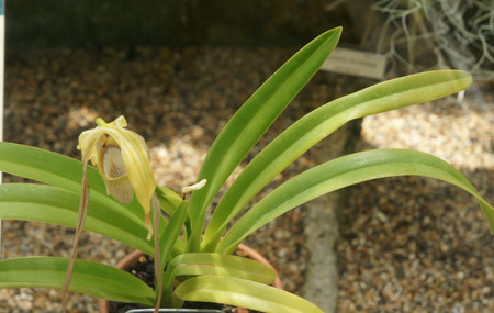 enveloping: Phragmipedium warszewiczianum earlier P. wallissii, orchid species from Ecuador growing as lithophyte with closely enveloping sheathed leaves and large velvety flowers
