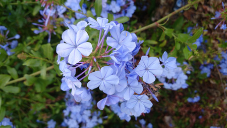 auriculata: Plumbago auriculata, Blue plumbago, evergreen scandent shrub with glossy green leaves and sky blue flowers in umbellate clusters