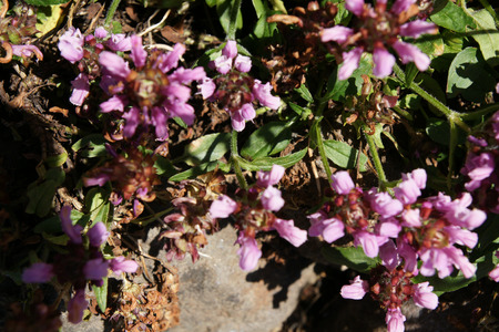 prunella: Prunella grandiflora Pink Loveliness, Pink selfheal, important medicinal plant with pink clusters of flowers