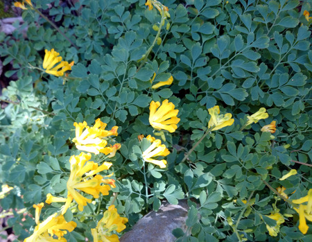 leaflets: Yellow Corydalis, Pseudofumaria lutea, perennial spreading herb with dissected leaves with obovate leaflets, 3-lobed at apex and yellow flowers in racemes