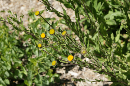 radiate: Pulicaria odora, Mediterranean Fleabane, erect perennial herb with green leaves and radiate yellow herb, used as cooked vegetable and medicinal plant