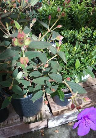 grigiastro: Tibouchina urvilleana, principessa fiore, arbusto sempreverde con foglie prominente venature grigiastre, fiori verdi, peloso e grandi viola