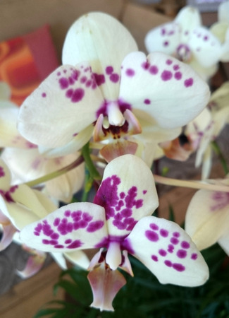 stalk flowers: Phalaenopsis white purple spotted, beautiful orchid with white flowers having purple spots and pink lip, carried on long stalk