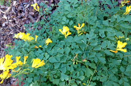 corydalis: Yellow Corydalis, Pseudofumaria lutea, perennial spreading herb with dissected leaves with obovate leaflets, 3-lobed at apex and yellow flowers in racemes