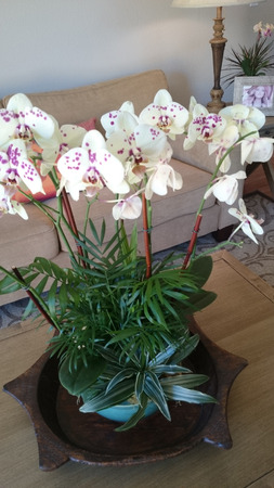 carried: Phalaenopsis white purple spotted, beautiful orchid with white flowers having purple spots and pink lip, carried on long stalk