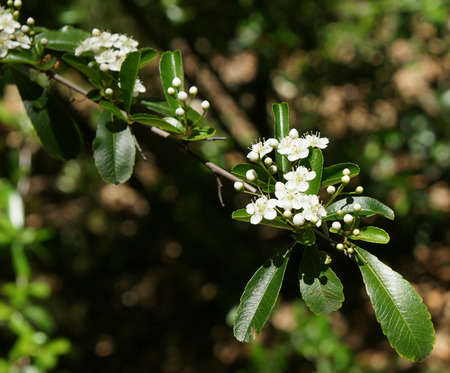 narrowly: Pyracantha fortuneana flower