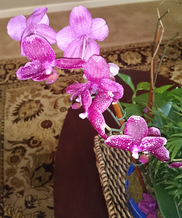 carried: Phalaenopsis purple, cultivated perennial orchid with strap shaped leaves and large purple flowers with white spots and pink lip, carried on long stalk