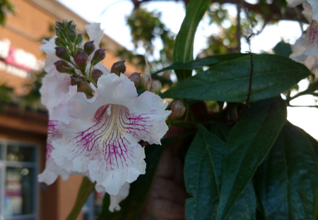 nearly: Chitalpa tashkentensis, Chitalpa, intergeneric hybrid between Catalpa bignonioides and Chilopsis linearis, a deciduous tree with narrow leaves and pale pink to nearly white flowers with purple lines in throat, borne in clusters