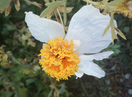 lanceolate: Coulters Matilija poppy, Californian tree poppy, Romneya coulteri, woody plant with waxy textured leaves with lanceolate lobes and large white terminal flower with crinkled petals