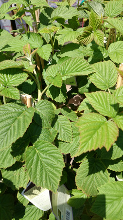 rubus: Rubus ideaus var strigosus, Wild red raspberry, deciduous shrub with textured green leaves with three leaflets, white flowers and thimble shaped fruits Stock Photo