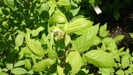 rubus: Rubus ideaus, Red raspberry, deciduous rambling shrub with white flowers and red fruits, sweet and juicy Stock Photo
