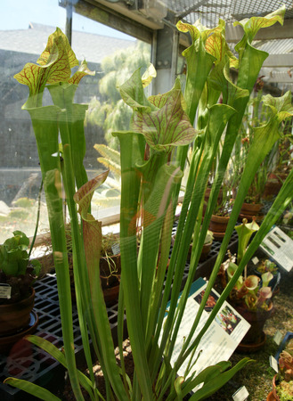 insectivorous: Purple pitcher plant, northern pitcher plant, Sarracenia purpurea, insectivorous plant and pitchers purple or green with purple veins