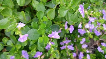 trailing: Scaevola surdiva, perennial herb with trailing habit, green leaves and fan like pale purple flowers