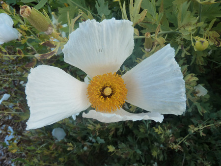 lobes: Coulters Matilija poppy, Californian tree poppy, Romneya coulteri, woody plant with waxy textured leaves with lanceolate lobes and large white terminal flower with crinkled petals