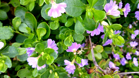 perennial: Scaevola surdiva, perennial herb with trailing habit, green leaves and fan like pale purple flowers