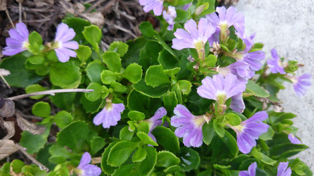 habit: Scaevola surdiva, perennial herb with trailing habit, green leaves and fan like pale purple flowers