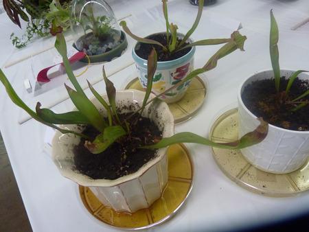 insectivorous plants: Purple pitcher plant, northern pitcher plant, Sarracenia purpurea, insectivorous plant and pitchers purple or green with purple veins