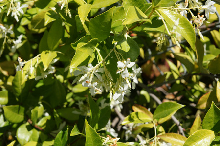 and opposite: Star Jasmine, Trachelospermum jasminoides, evergreen woody liana with green opposite oval leaves and star shaped white flowers in clusters Stock Photo